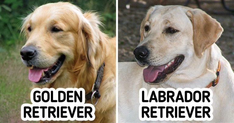 11 pár kutyafajta, ami akár egy lelkes kutyarajongót is összezavarhat