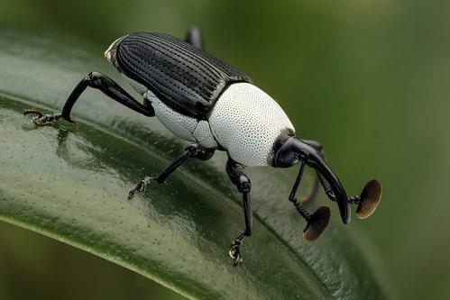Black & white weevil